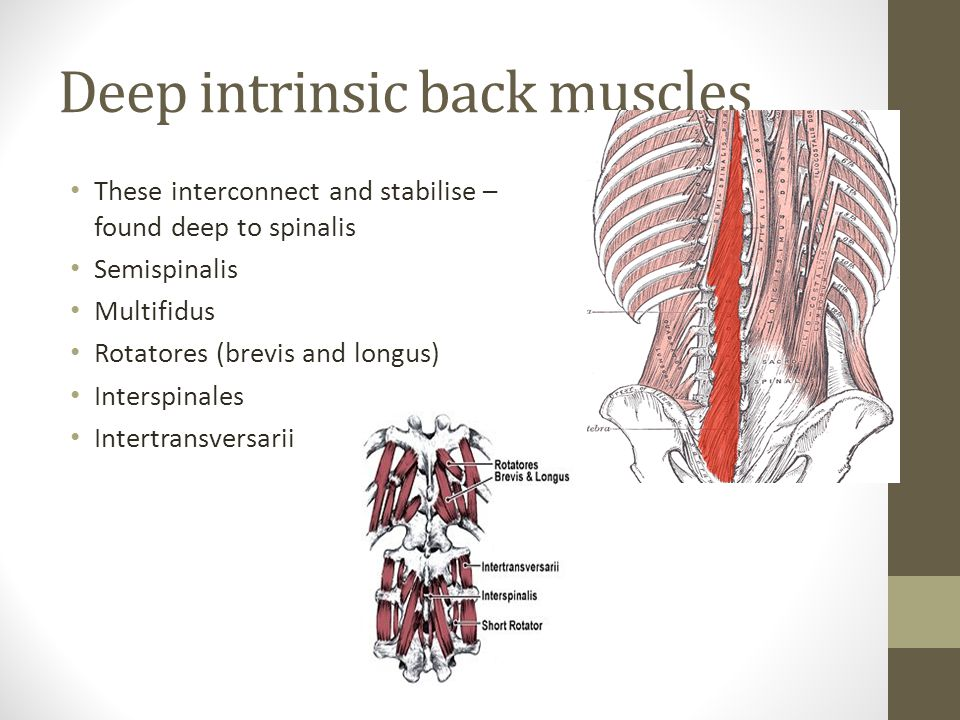 Deep intrinsic back muscles
