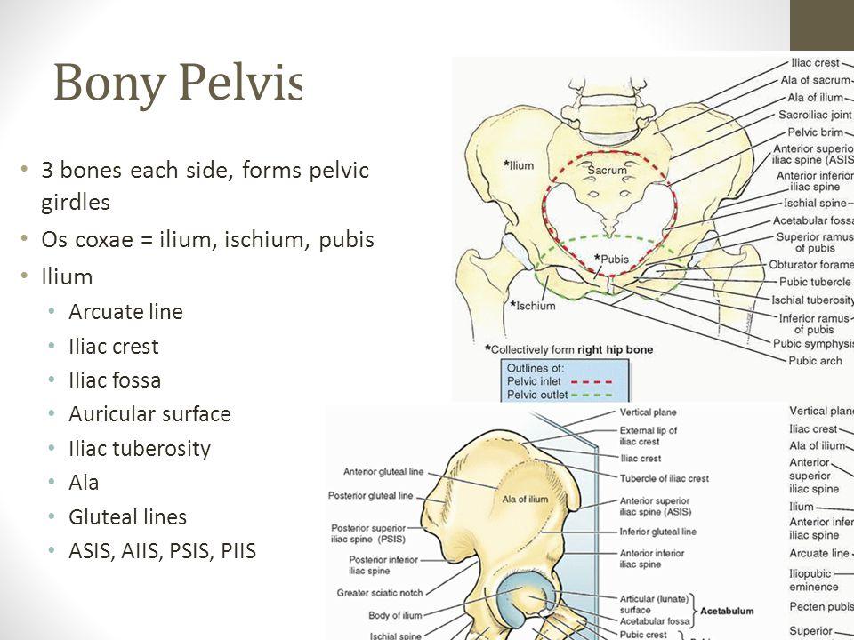 Bony Pelvis 3 bones each side, forms pelvic girdles