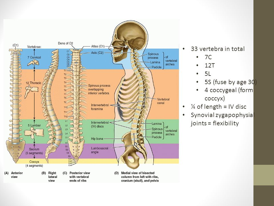 33 vertebra in total 7C. 12T. 5L. 5S (fuse by age 30) 4 coccygeal (form coccyx) ¼ of length = IV disc.
