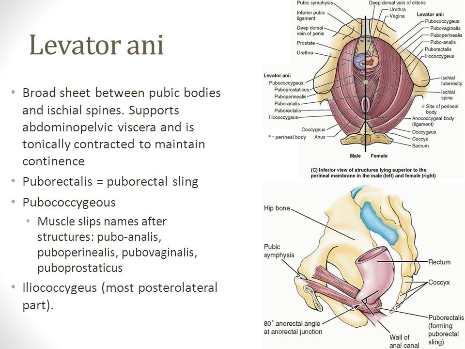 Levator ani Broad sheet between pubic bodies and ischial spines. Supports abdominopelvic viscera and is tonically contracted to maintain continence.