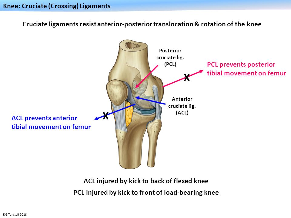 X X Knee: Cruciate (Crossing) Ligaments