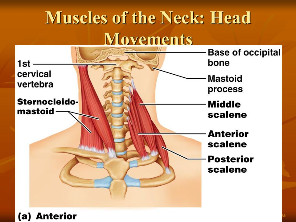 Muscles of the Neck: Head Movements