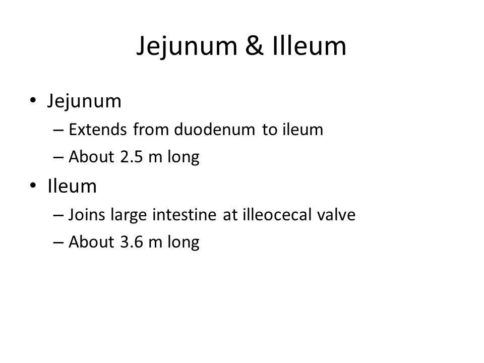 Jejunum & Illeum Jejunum Ileum Extends from duodenum to ileum