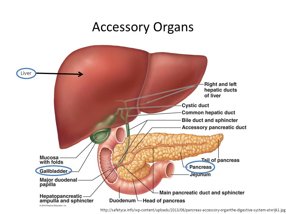 Accessory Organs Liver