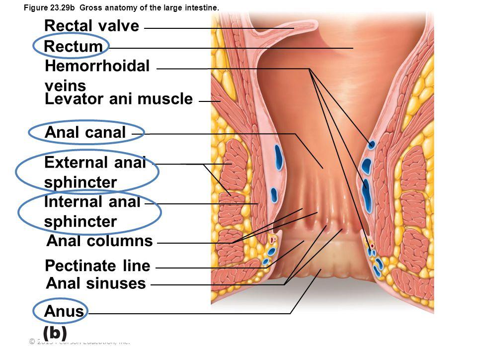 Anal columns Pectinate line Anal sinuses Anus