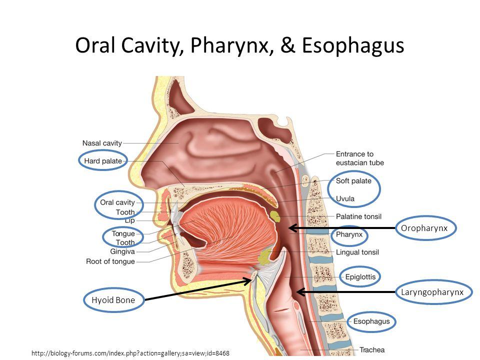 Oral Cavity, Pharynx, & Esophagus