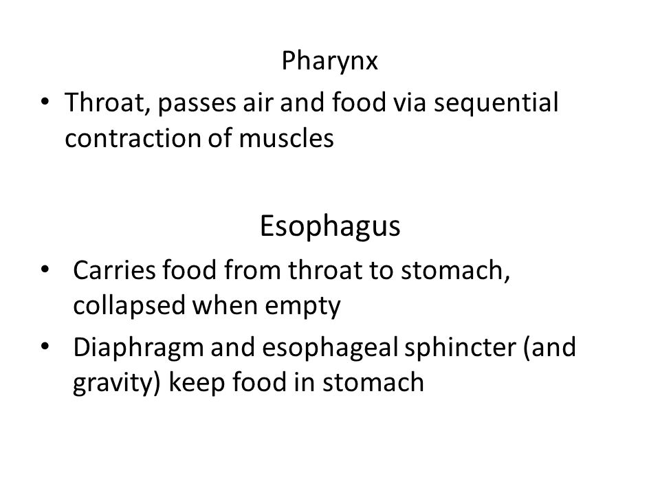 Pharynx Throat, passes air and food via sequential contraction of muscles. Esophagus. Carries food from throat to stomach, collapsed when empty.