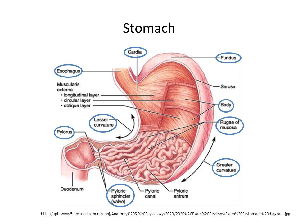 Stomach http://apbrwww5.apsu.edu/thompsonj/Anatomy%20&%20Physiology/2020/2020%20Exam%20Reviews/Exam%203/stomach%20diagram.jpg.
