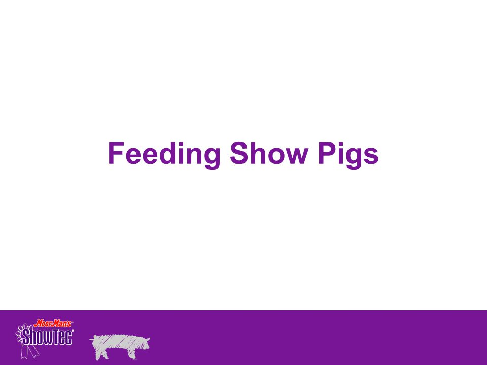 Feeding Show Pigs