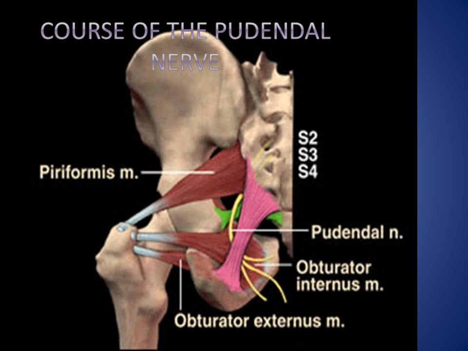 Course of the Pudendal Nerve