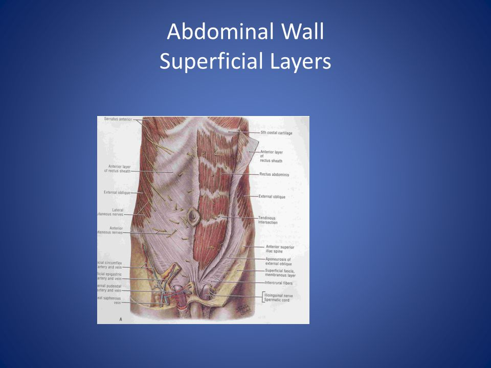 Abdominal Wall Superficial Layers