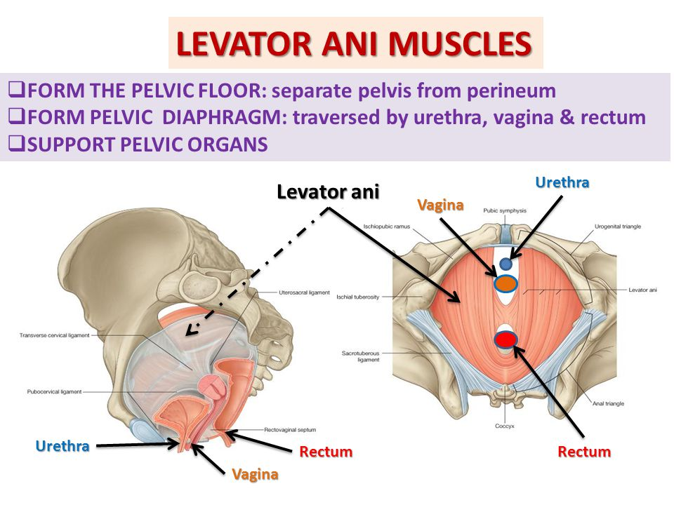 LEVATOR ANI MUSCLES FORM THE PELVIC FLOOR: separate pelvis from perineum. FORM PELVIC DIAPHRAGM: traversed by urethra, vagina & rectum.