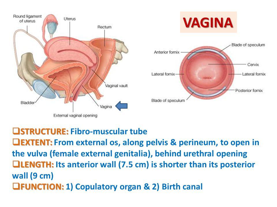 VAGINA STRUCTURE: Fibro-muscular tube