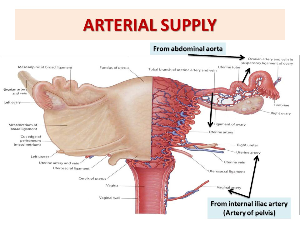 ARTERIAL SUPPLY From abdominal aorta From internal iliac artery