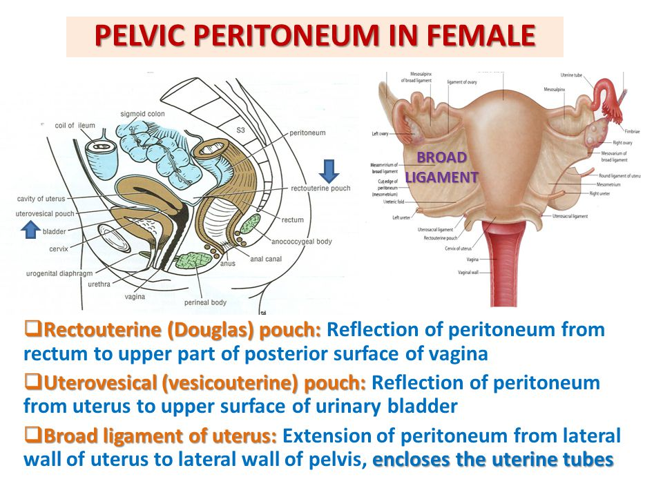 PELVIC PERITONEUM IN FEMALE