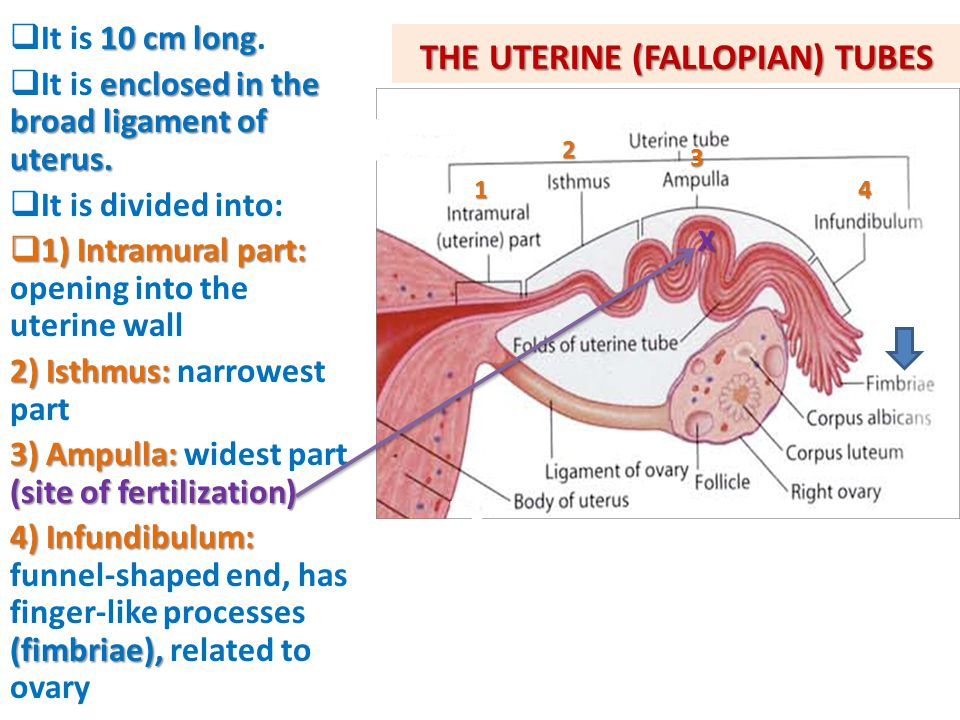 THE UTERINE (FALLOPIAN) TUBES