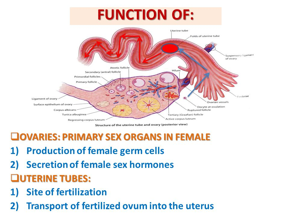 FUNCTION OF: OVARIES: PRIMARY SEX ORGANS IN FEMALE
