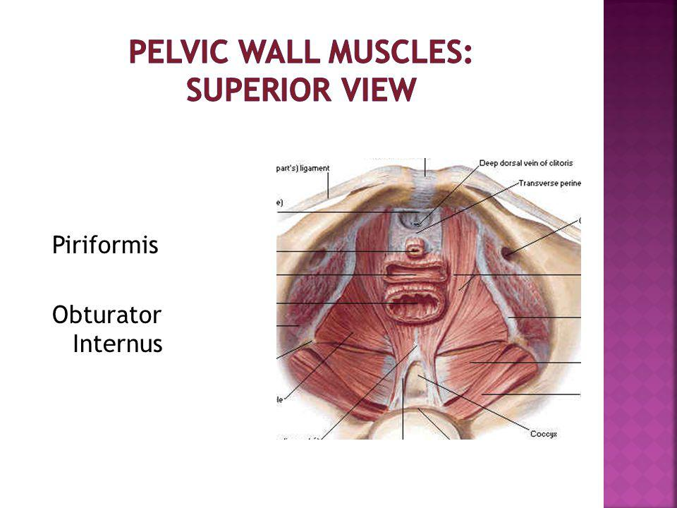 Pelvic Wall Muscles: Superior View