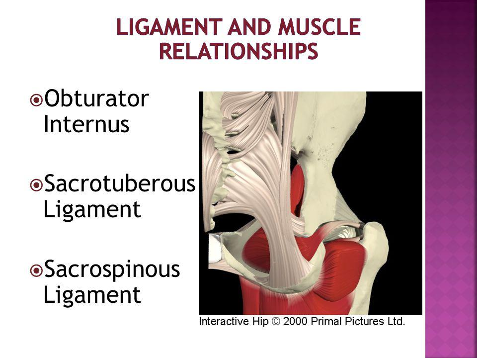 Ligament and Muscle Relationships