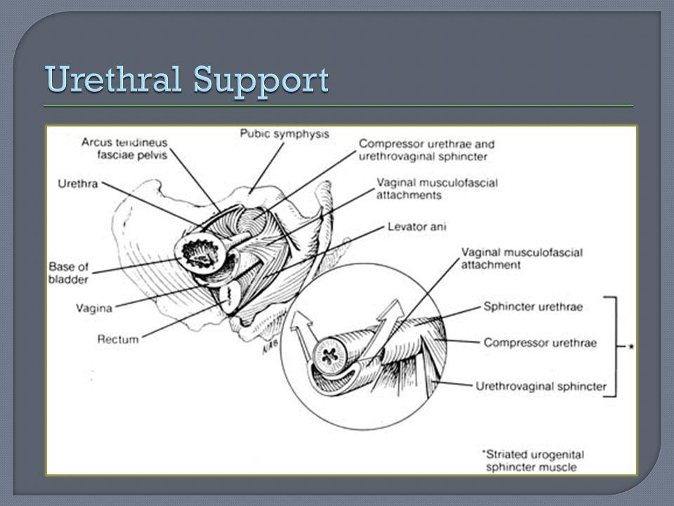 Urethral Support
