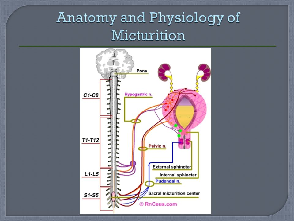 Anatomy and Physiology of Micturition