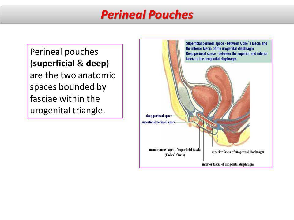 Perineal Pouches Perineal pouches (superficial & deep) are the two anatomic spaces bounded by fasciae within the urogenital triangle.