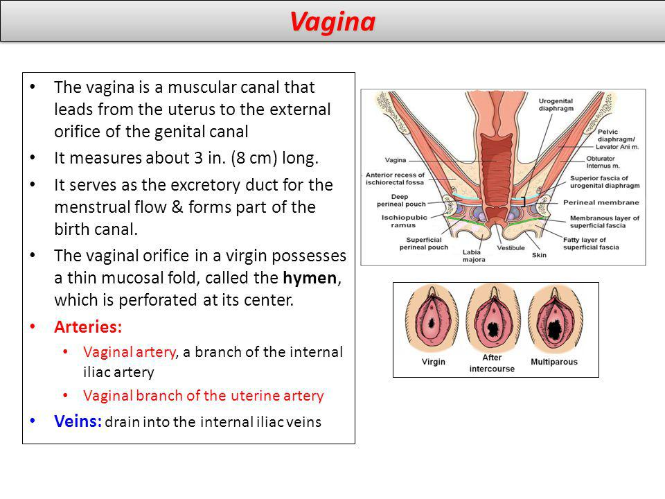 Vagina The vagina is a muscular canal that leads from the uterus to the external orifice of the genital canal.