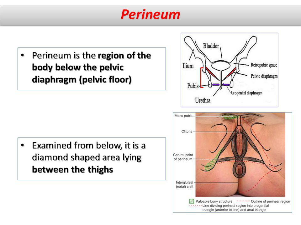 Perineum Perineum is the region of the body below the pelvic diaphragm (pelvic floor)