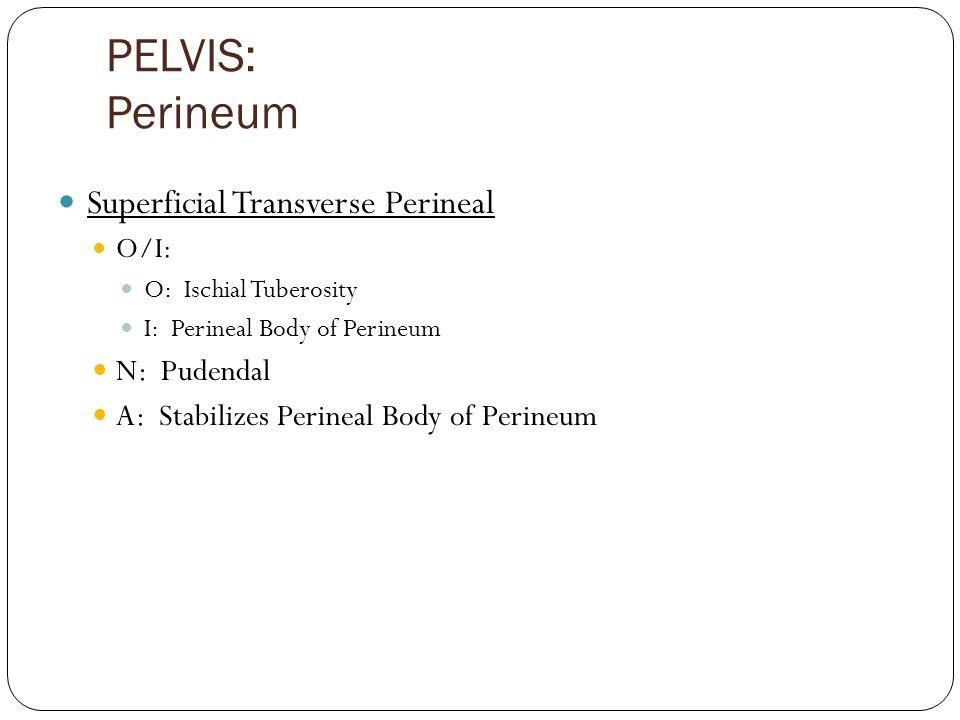 PELVIS: Perineum Superficial Transverse Perineal N: Pudendal