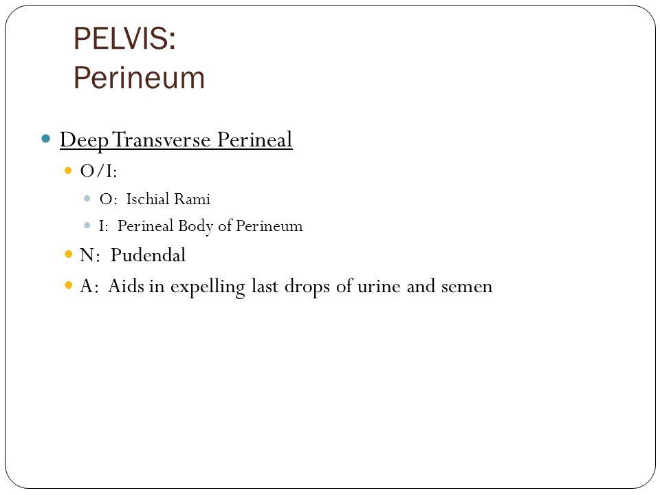 PELVIS: Perineum Deep Transverse Perineal N: Pudendal