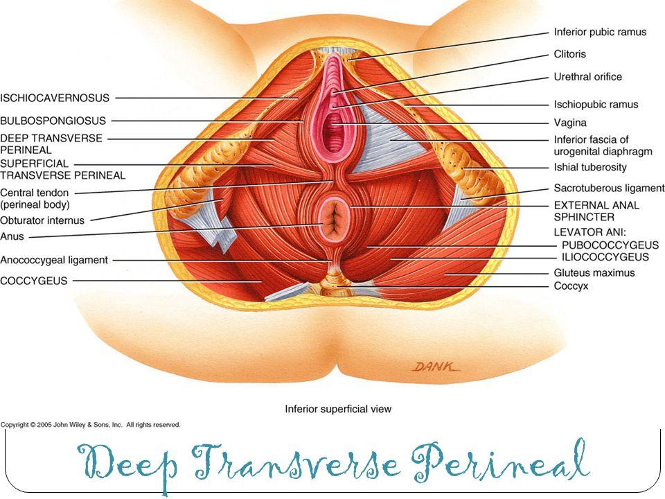 Deep Transverse Perineal