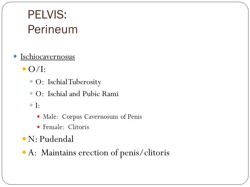 PELVIS: Perineum O/I: N: Pudendal