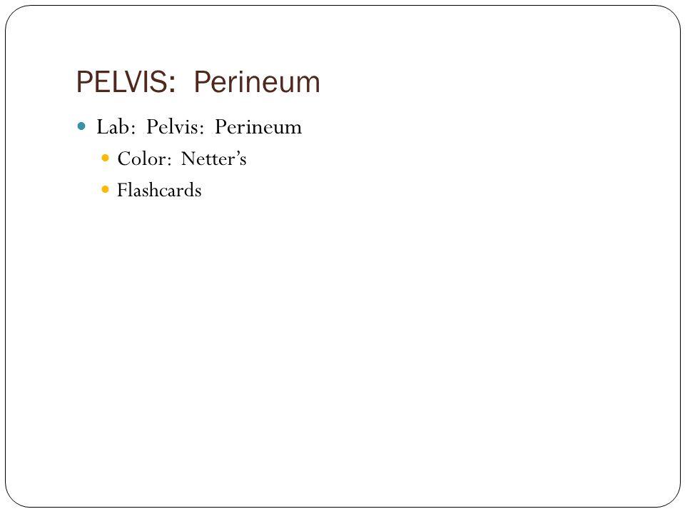 PELVIS: Perineum Lab: Pelvis: Perineum Color: Netter's Flashcards