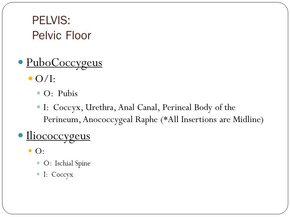 PuboCoccygeus Iliococcygeus PELVIS: Pelvic Floor O/I: O: Pubis