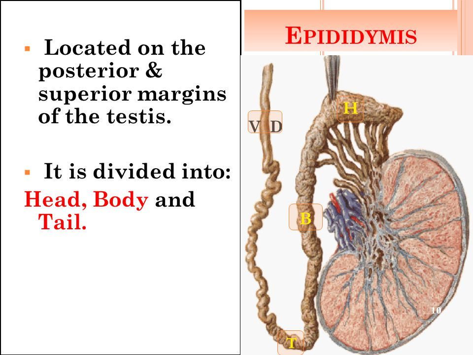 Epididymis Located on the posterior & superior margins of the testis.