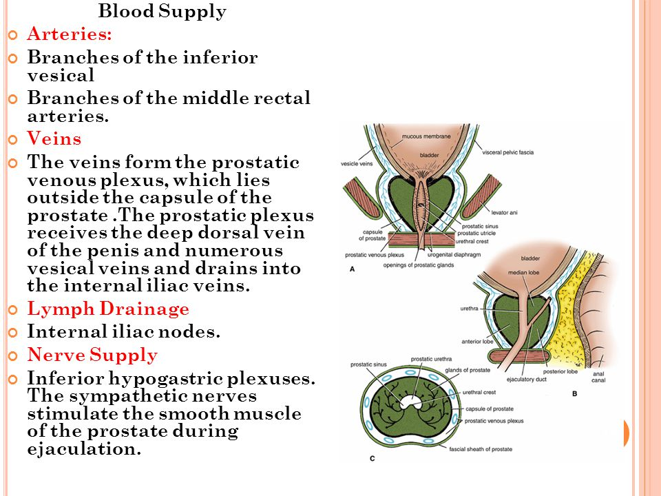 Blood Supply Arteries: Branches of the inferior vesical. Branches of the middle rectal arteries.