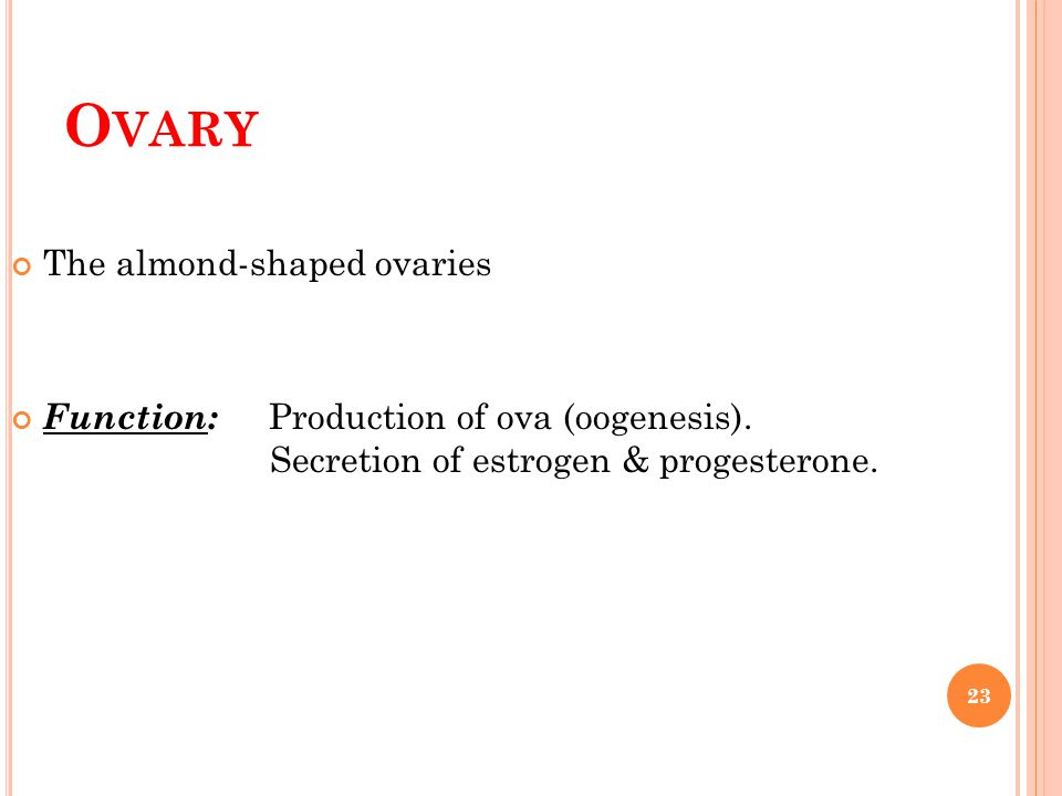 Ovary The almond-shaped ovaries
