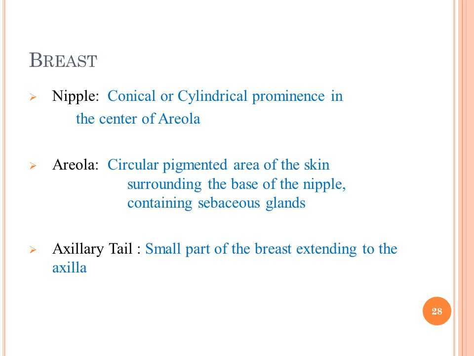 Breast Nipple: Conical or Cylindrical prominence in