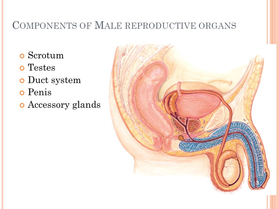 Components of Male reproductive organs