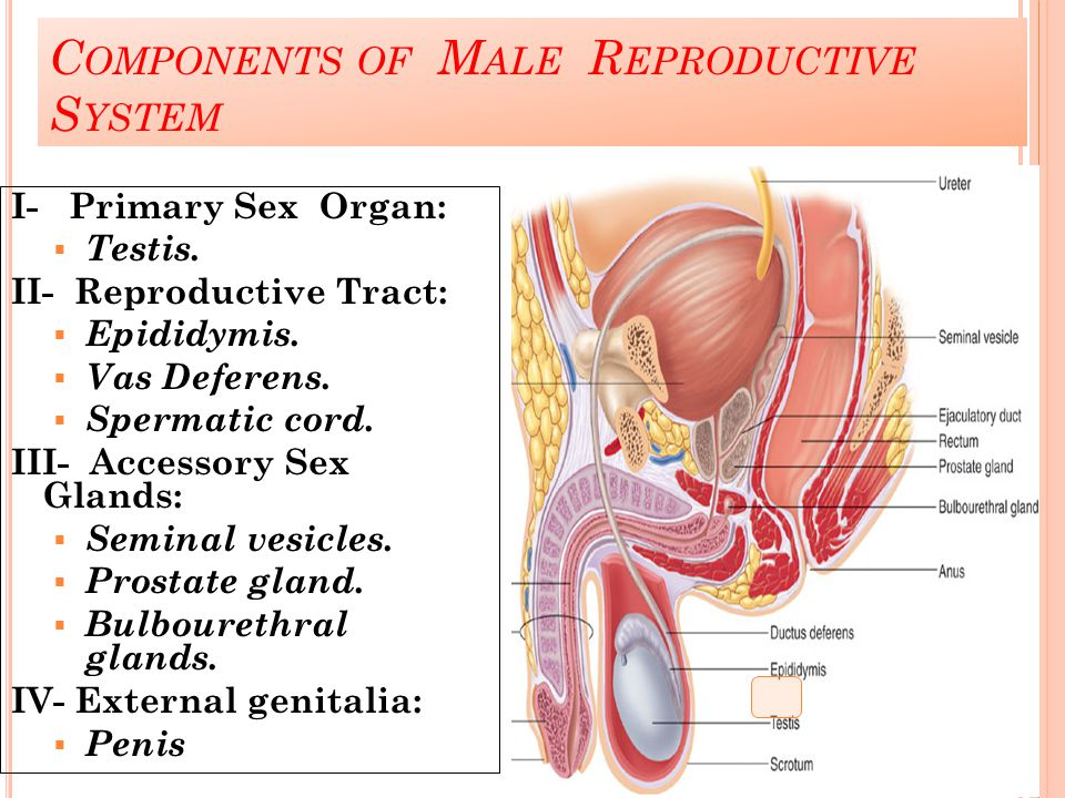 Components of Male Reproductive System