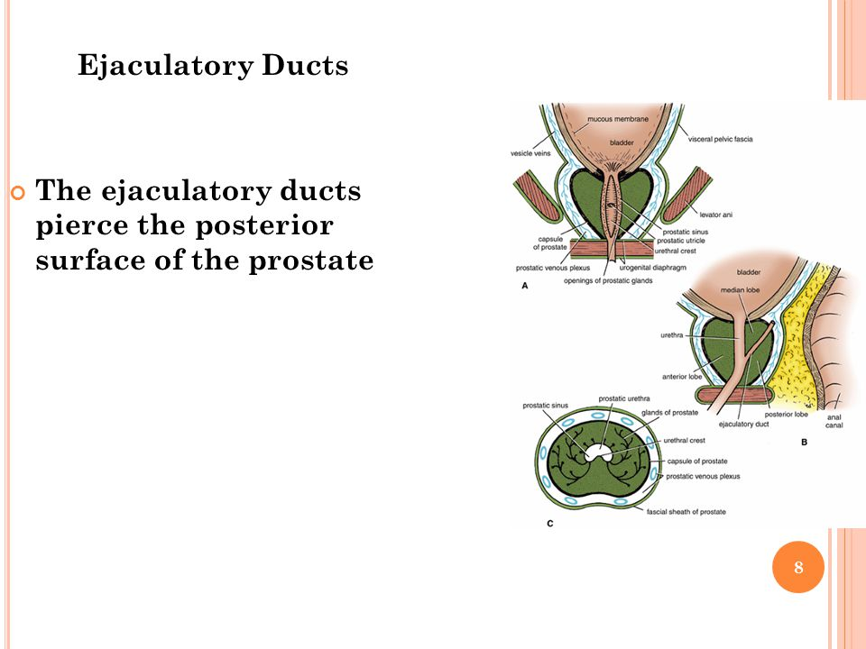 Ejaculatory Ducts The ejaculatory ducts pierce the posterior surface of the prostate