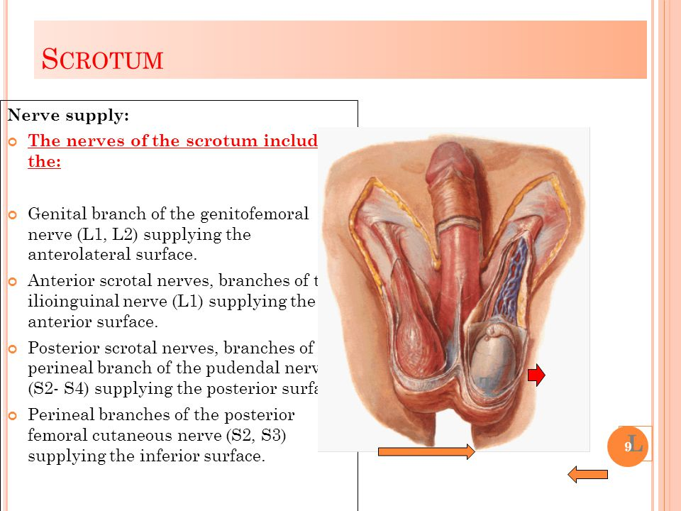 Scrotum T L Nerve supply: The nerves of the scrotum include the: