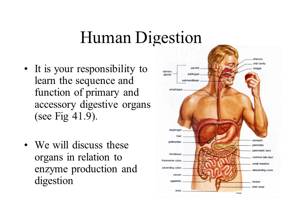 Human Digestion It is your responsibility to learn the sequence and function of primary and accessory digestive organs (see Fig 41.9).