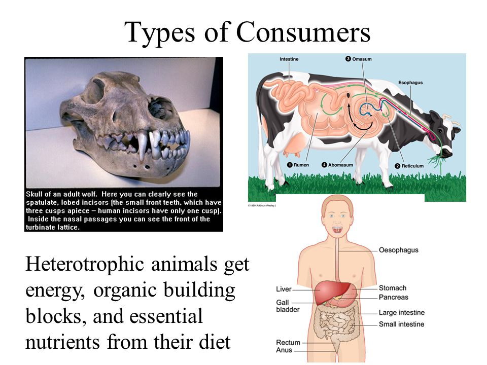 Types of Consumers Heterotrophic animals get energy, organic building blocks, and essential nutrients from their diet.