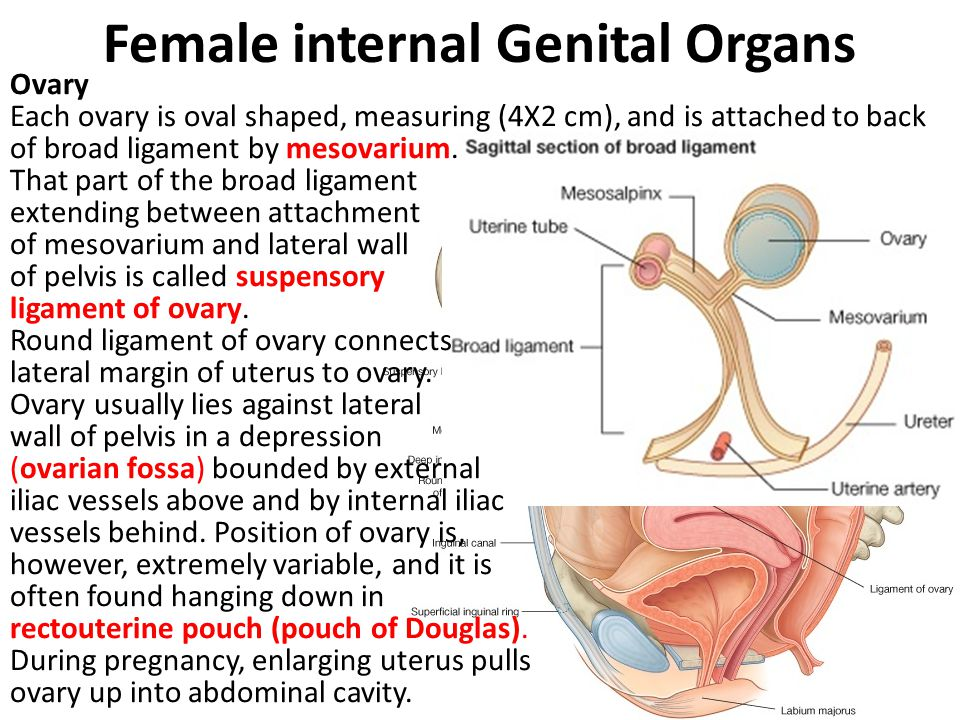 Female Internal Genital Organs - ppt video online download