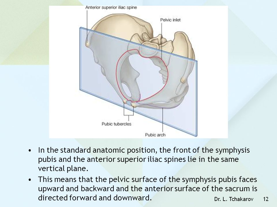 In the standard anatomic position, the front of the symphysis pubis and the anterior superior iliac spines lie in the same vertical plane.