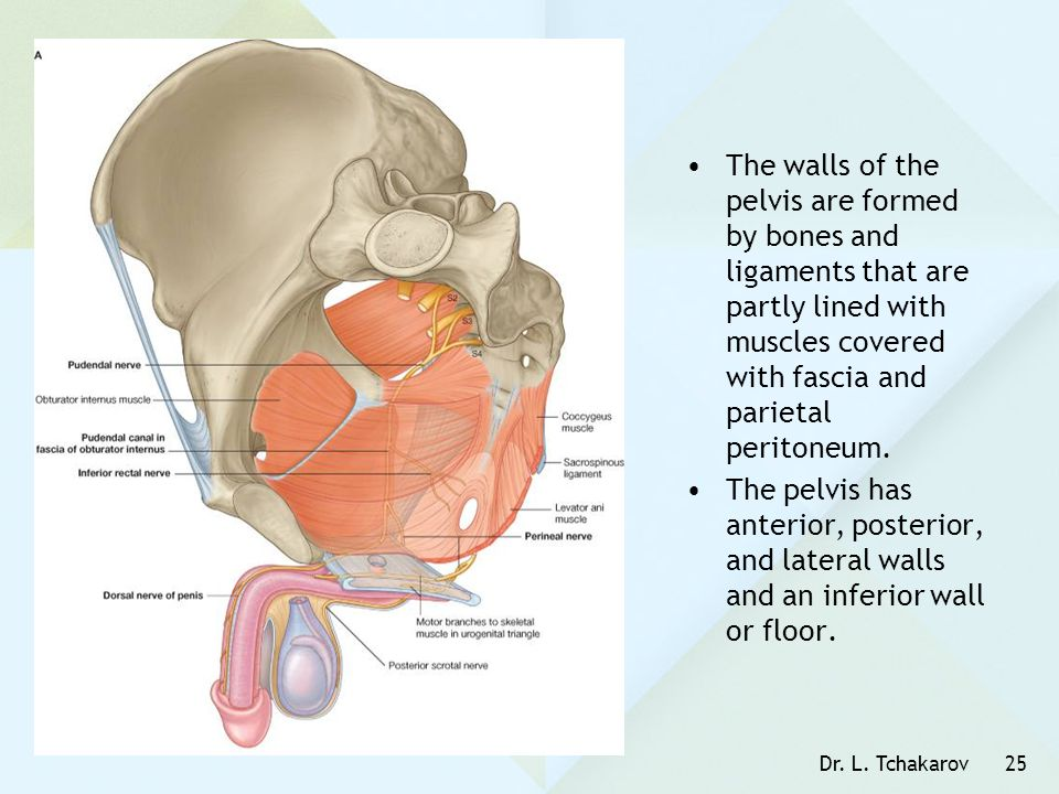 The walls of the pelvis are formed by bones and ligaments that are partly lined with muscles covered with fascia and parietal peritoneum.