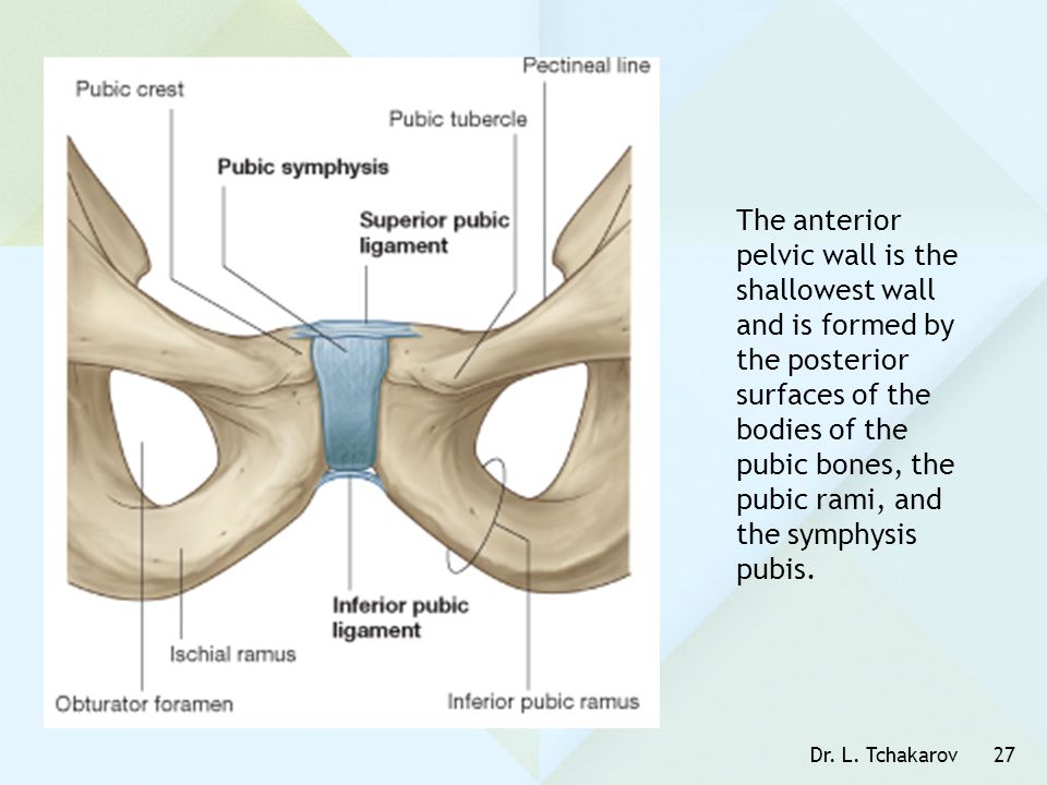 The anterior pelvic wall is the shallowest wall and is formed by the posterior surfaces of the bodies of the pubic bones, the pubic rami, and the symphysis pubis.