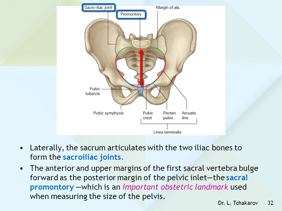 Laterally, the sacrum articulates with the two iliac bones to form the sacroiliac joints.