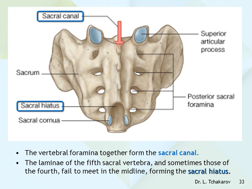 The vertebral foramina together form the sacral canal.